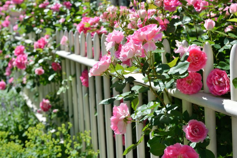 Zakročte včas - tieto najčastejšie ochorenia ruží by ste mali poznať