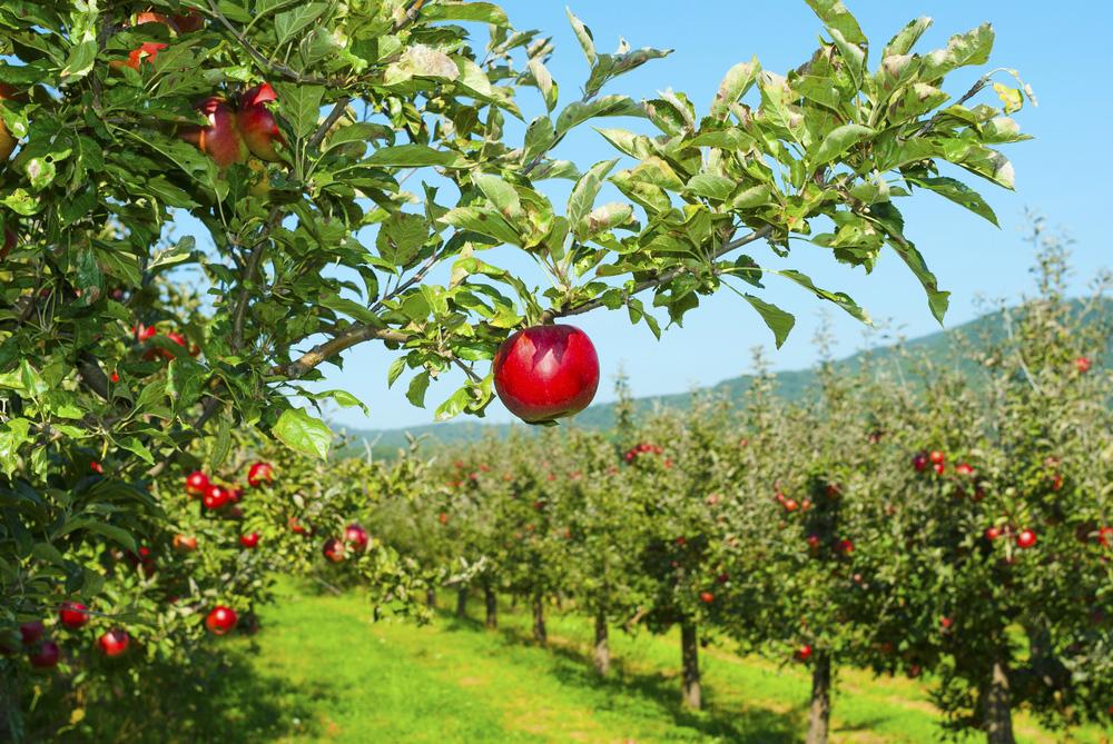 Jablkový sad