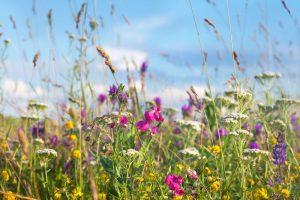 Vymeňte trávnik za lúčne kvety