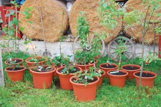Ovocné dreviny v kvetináčoch