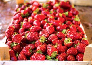 Pestujeme jahody v nádobách