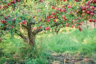 Ochrana jabloní