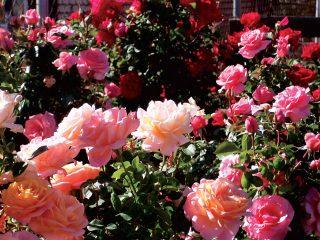 Pestujeme ruže z odrezkov