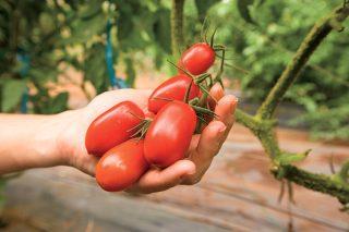 11 krokov k bohatej úrode rajčiakov