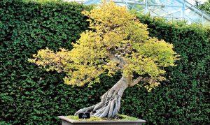 Vášmu bonsaju sa nedarí. Čo s tým?