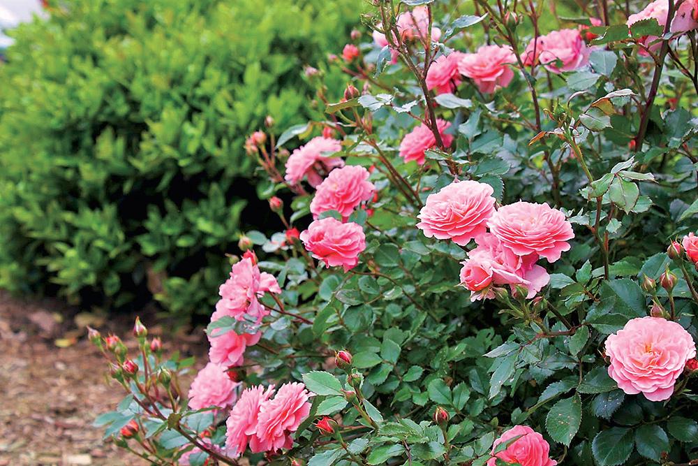 Choroby, škodcovia a ochrana ruží