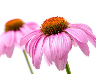 Kvety leta - echinacea