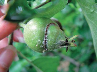 Piliarka jablčná