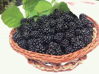 Aké odrody černíc vysadiť