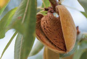 Dopestujte si bohatú úrodu mandlí aj v malej záhrade