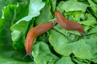 8 overených spôsobov, ako sa zbaviť slimákov v záhrade8 overených spôsobov, ako sa zbaviť slimákov v záhrade
