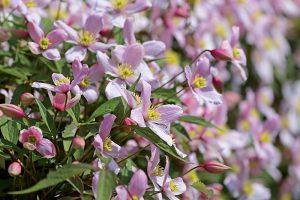 Očarujúce plamienky: Rozmnožte si najžiadanejšie okrasné rastliny pomocou odrezkov