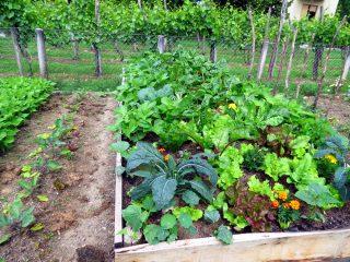 Symbiotická záhrada: Objavte bylinkových ochrancov zeleniny
