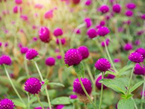 Kvety babieho leta rozžiaria vašu záhradu