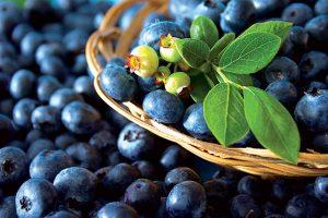 Čučoriedky: Tento postup výsadby vám zaručí skorú a bohatú úrodu