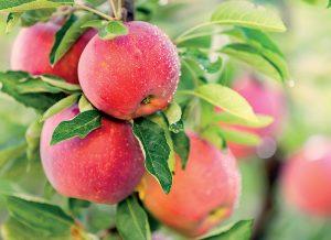 Spoznajte čaro ukryté v starých odrodách jabloní