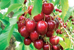 Čerešne: Výber osvedčenej odrody zaručí pestovateľský úspech