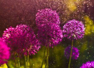 Nechajte sa očariť jemnou krásou záhradných cesnakov