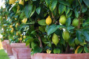 Nezanedbajte starostlivosť o citrusy. Zima je pre ne prelomové obdobie