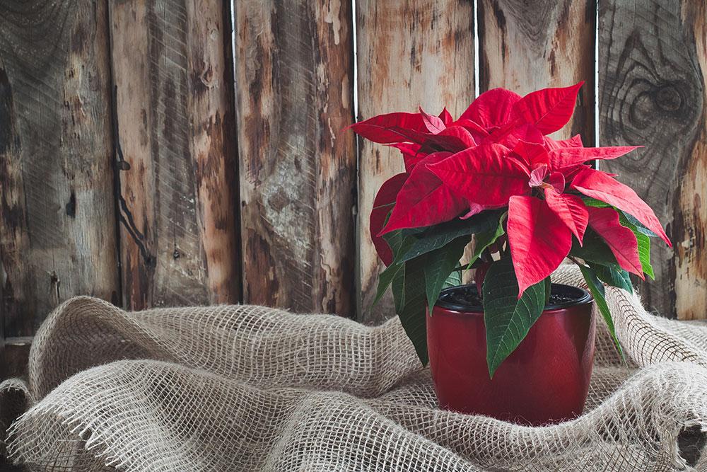 Ako si uchovať vianočnú ružu sviežu