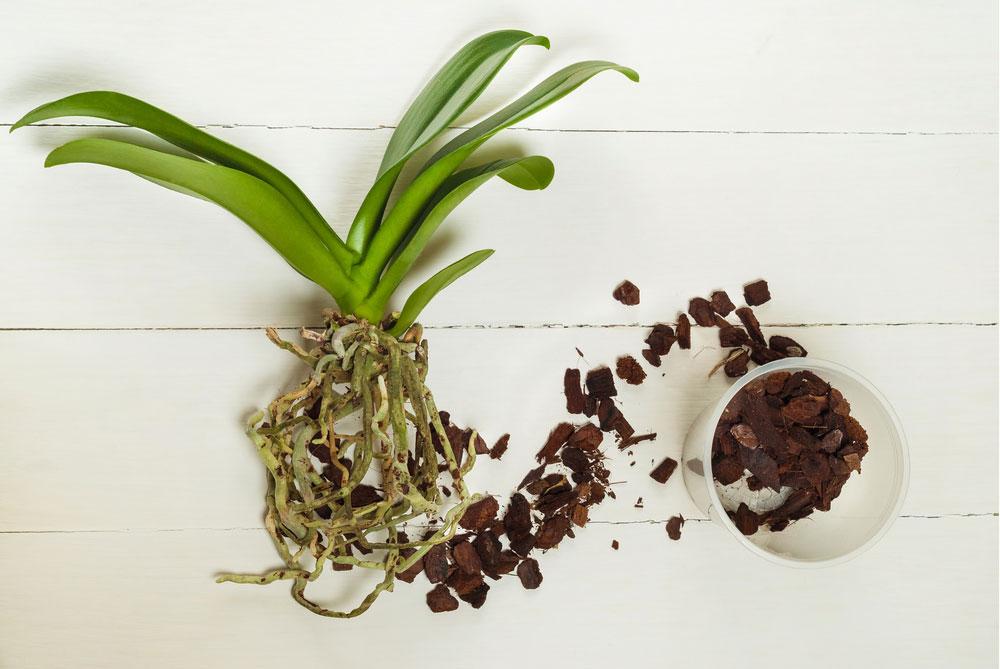 Správne presadená orchidea sa odvďačí záplavou kvetov