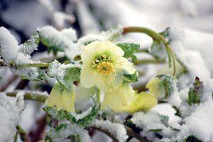 Čemerice potešia kvetom počas zimných dní