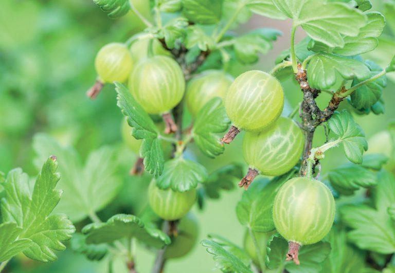 Jarný rez egreša sa postará o bohatú úrodu