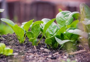 Ako si dopestovať jarnú zeleninu v nádobách