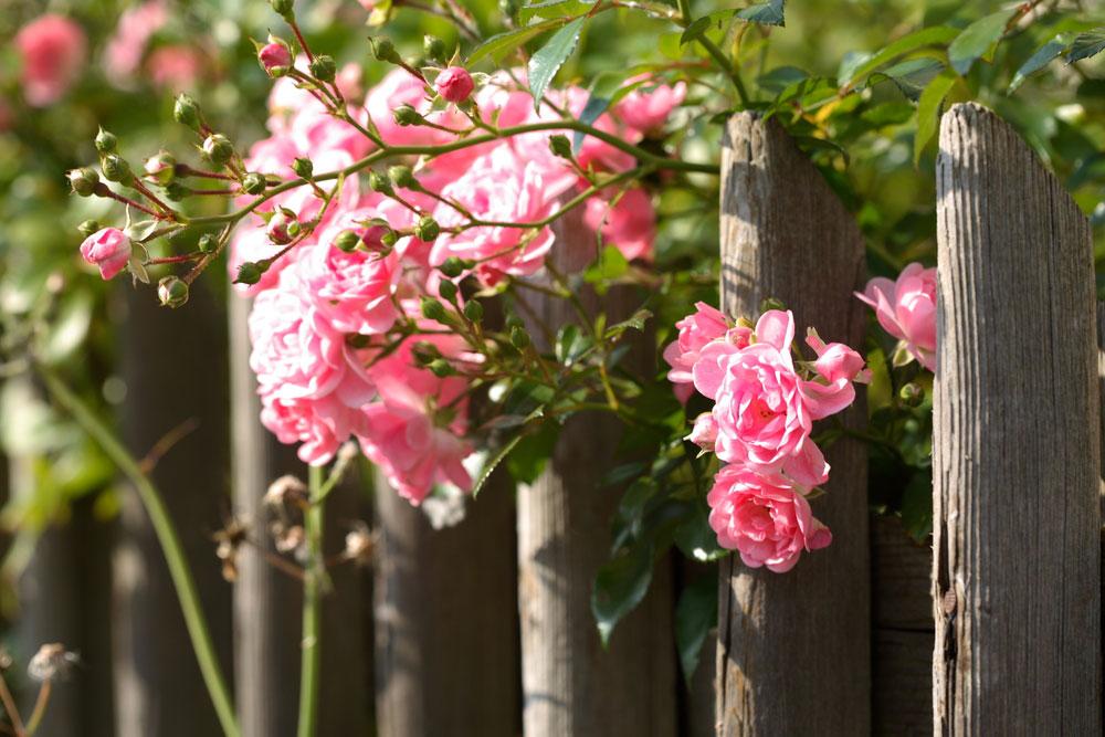 Rez ruží by ste nemali vynechať. Naučíme vás, ako na to