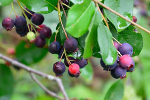 Muchovník: Ovocie budúcnosti vhodné do každej záhrady