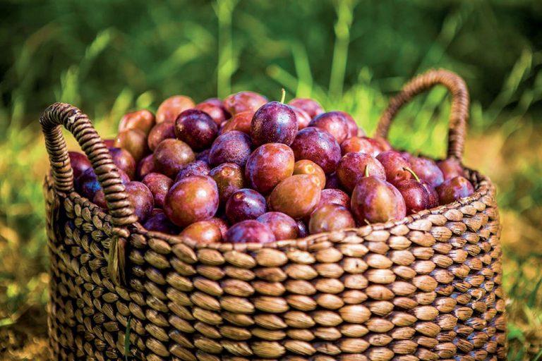 Spoznajte ekologické odrody marhúľ, sliviek, jahôd a ríbezlí