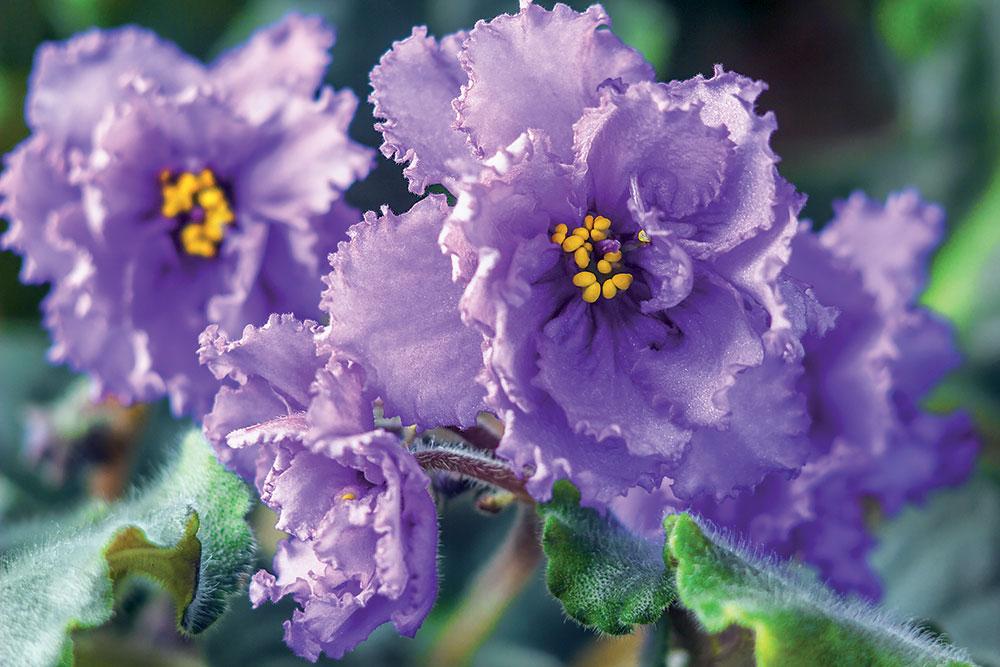 Africké fialky: Doprajte im takúto starostlivosť a odvďačia sa záplavou kvetov