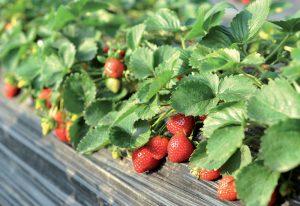 Rýchlenie jahôd: Chutné plody môžeme zberať celú sezónu