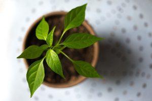 Krok za krokom: Jednotenie mladých zeleninových rastliniek