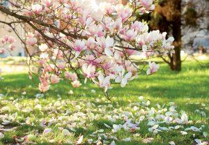 Magnólia, krásna ozdoba jarnej záhrady