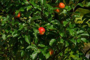 Ešte nie je neskoro vysadiť ovocný stromček