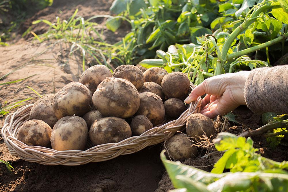 Krok za krokom: Vysádzame zemiaky