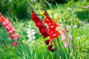11 krokov ku krásne zakvitnutým gladiolám
