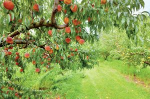 Vyberáme ovocie do stredne veľkých záhrad