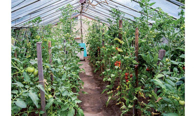 Zelenina v skleníku