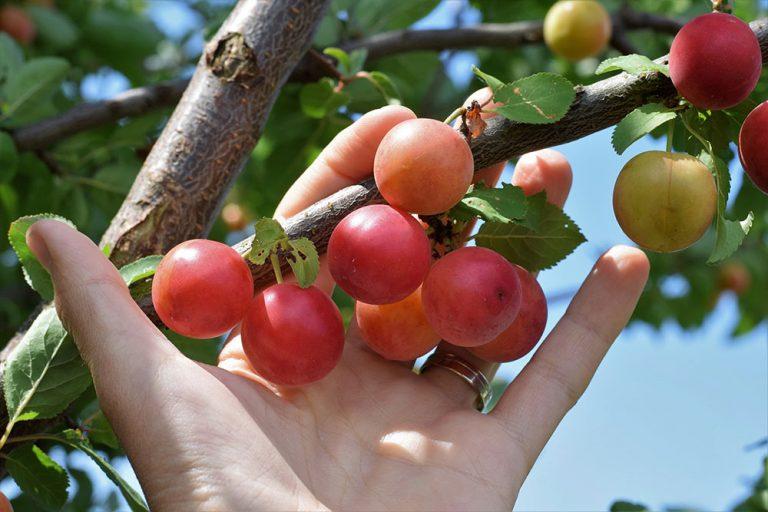Ovocie, ktoré si zamilujete, no v obchodoch ho nehľadajte