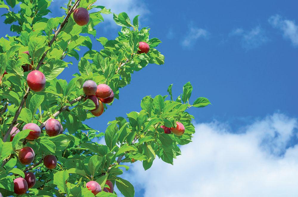 Ako správne urobiť letný rez ovocných stromov