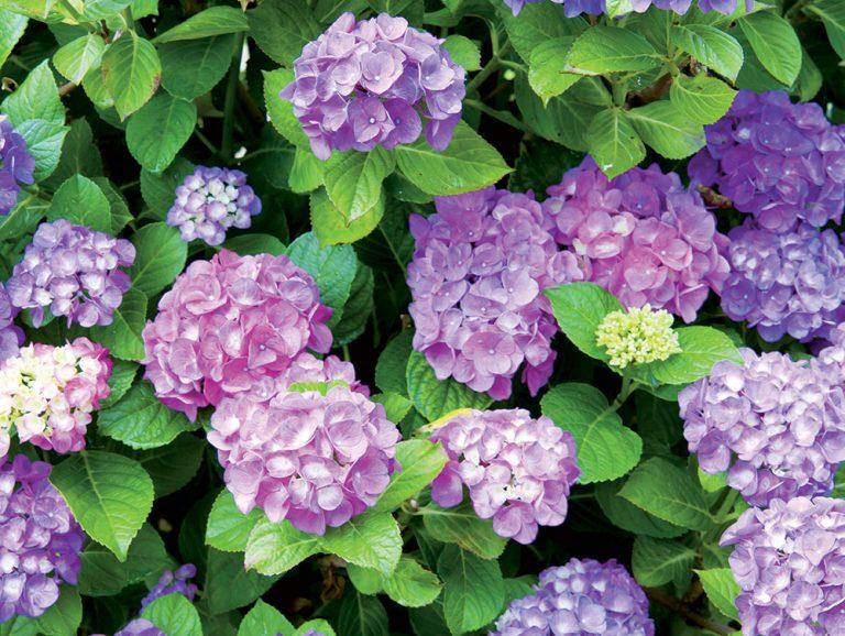 6 druhov hortenzií a tajomstvo ich modrej farby