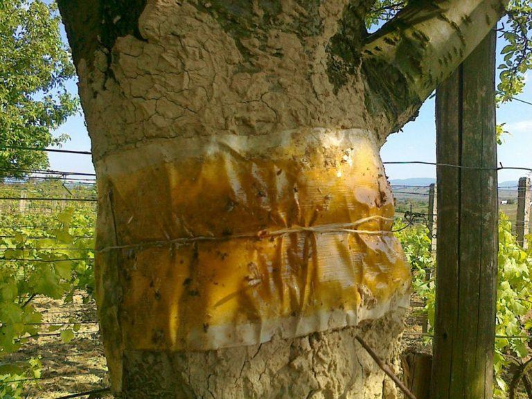 Jesenná ochrana ovocnín pred piadivkami