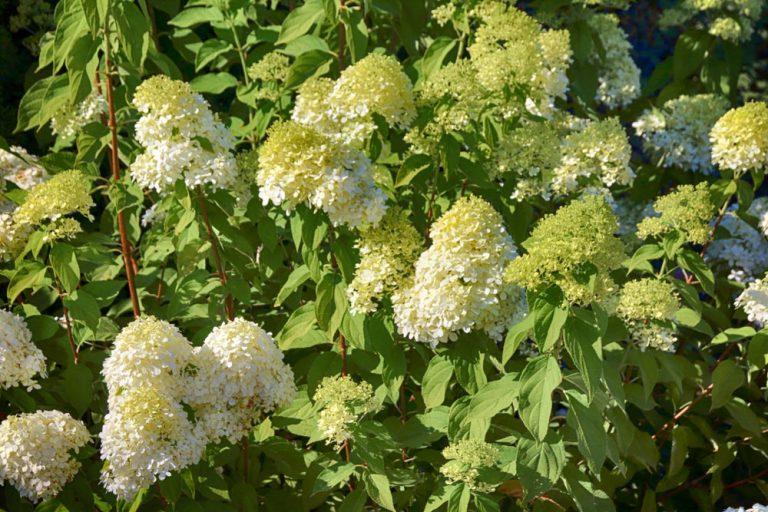 Aký druh hortenzie zasadiť na slnečné miesto?