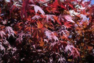 Japonský javor: Kráľ jesennej záhrady