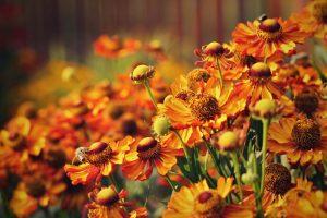 6 jesenných trvaliek, ktoré kvitnú až do prvých mrazov