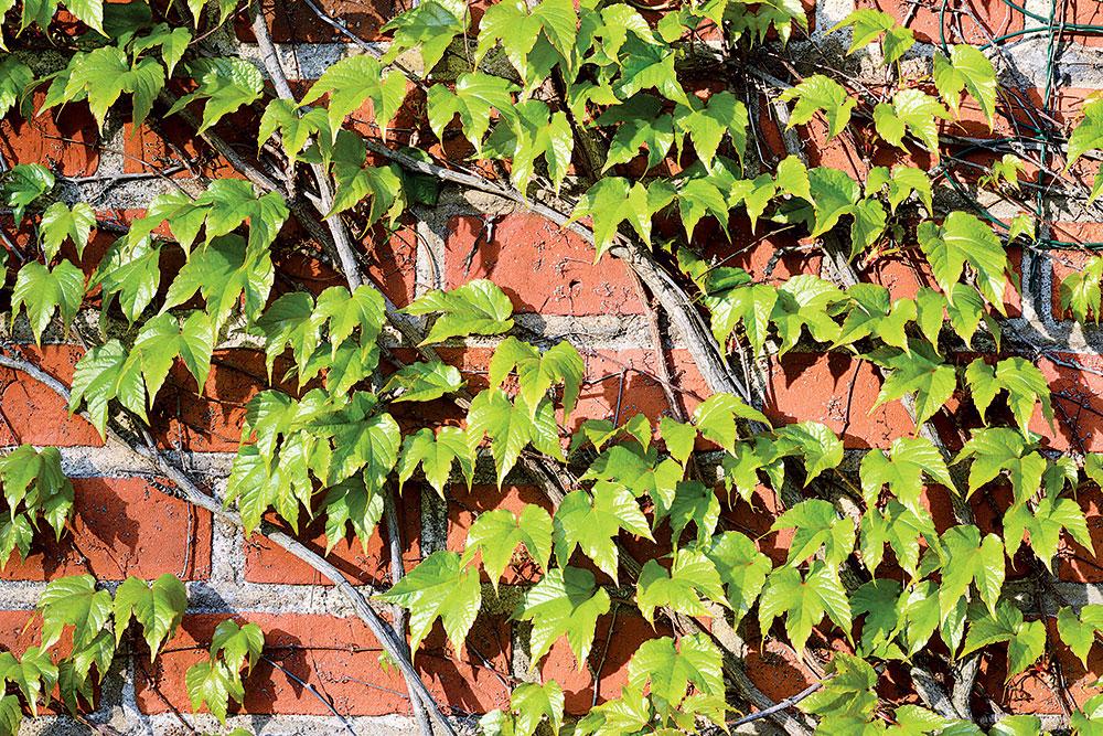Popínavé dreviny: Nechajte si obrásť fádne múry zeleňou