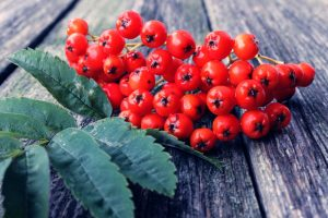 Nedocenená jarabina: Rastie voľne v prírode a poskytuje výnimočne zdravé ovocie