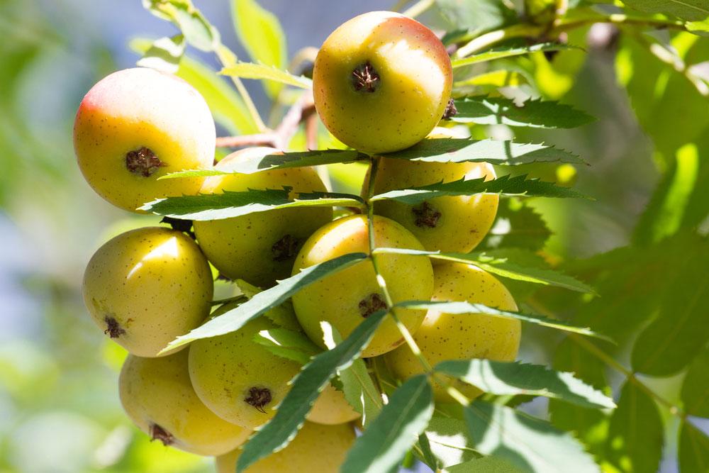 Spoznajte oskorušu, jeden z najcennejších ovocných druhov